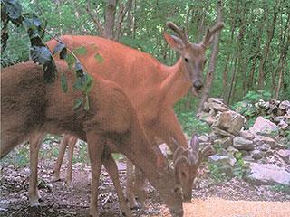 HUNT DEER, BEAR, WILD TURKEY, HIKE ON FOREST TRAILS